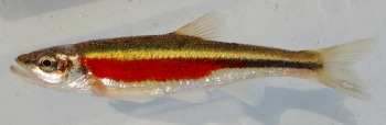 Male Redside Dace. Brian Zimmerman photo.  Used with permission.