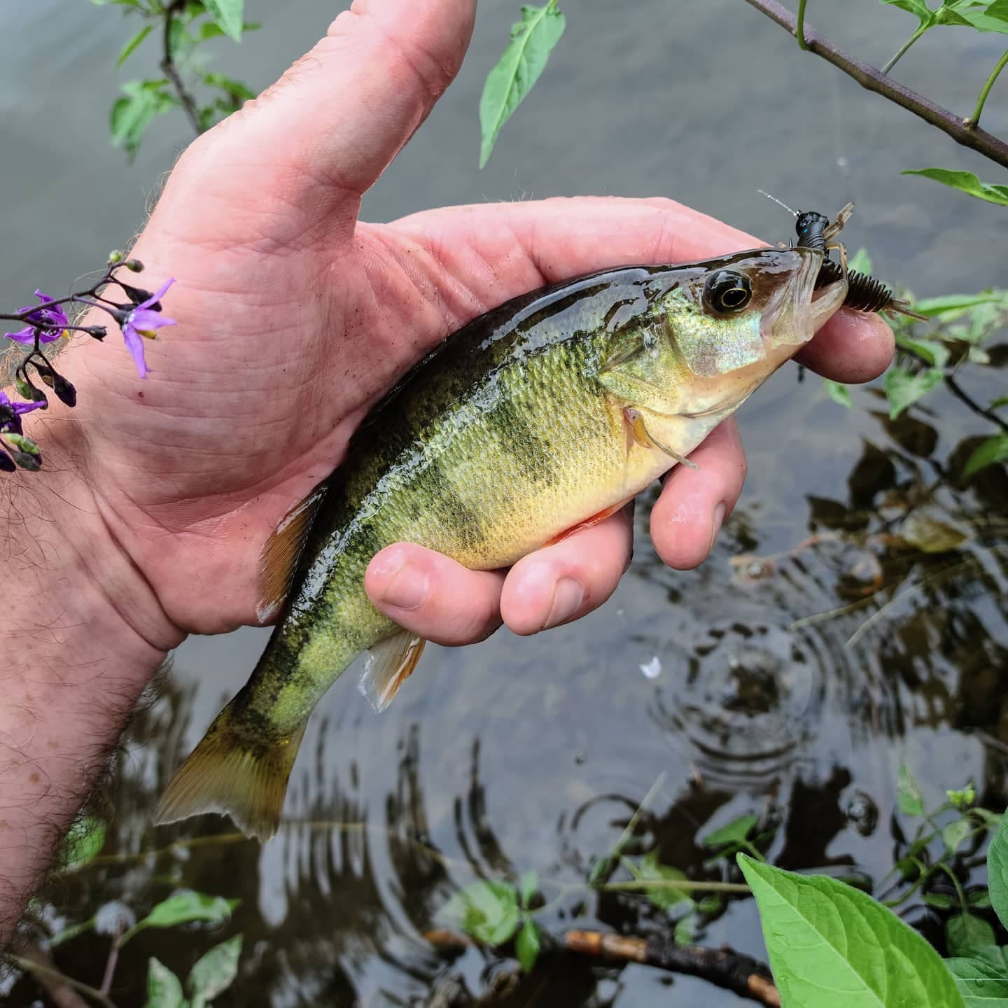 Yellow Perch caughtwith Micro Finesse Anisoptera. Michael R photo.