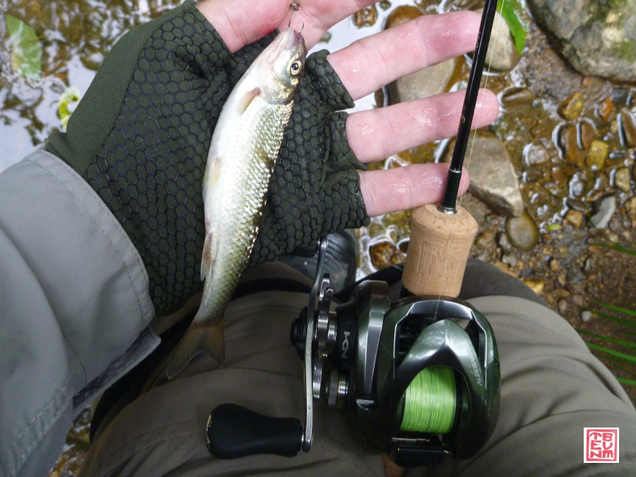 Small fallfish caught with baitcaster