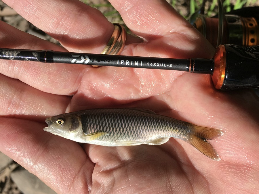 Satinfin Shiner caught with Daiwa 56XXUL-S