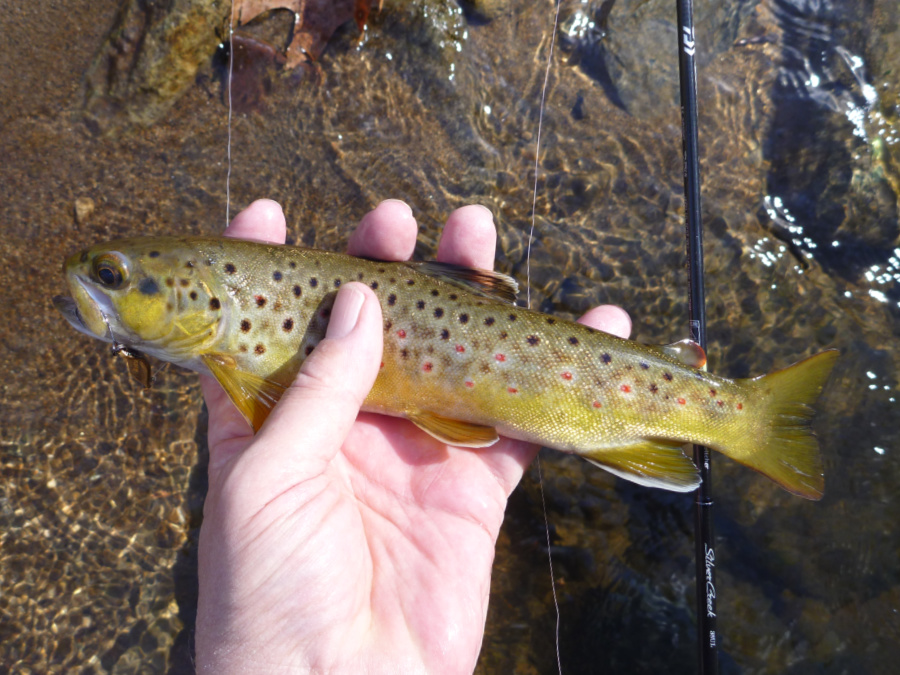Angler holding brown trout with Daiwa Silver Creek Stream Twitcher 38UL in the background