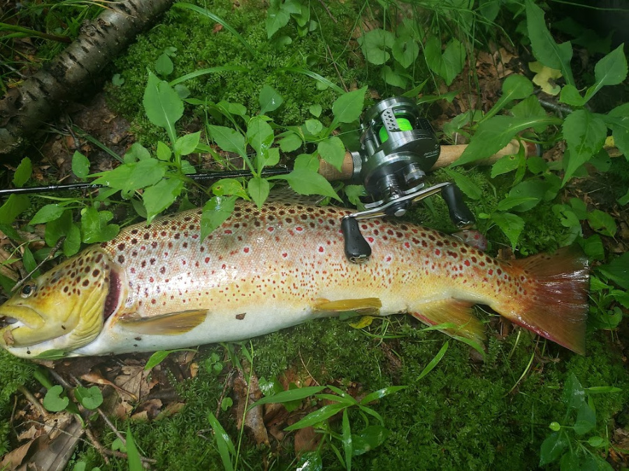 Jason D's Spectra as baitcaster with brown trout.