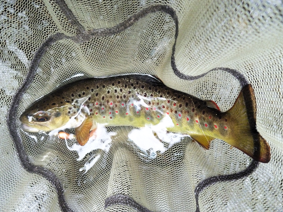 9 inch brown trout in the net
