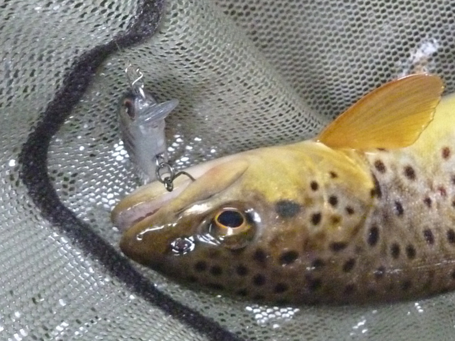 Trout hooked on the front hook.