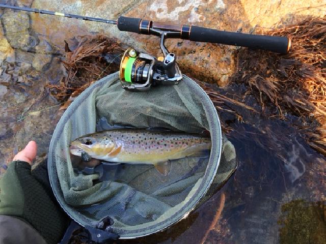 Brown trout in the net alongside Daiwa Presso ST 53XUL-4