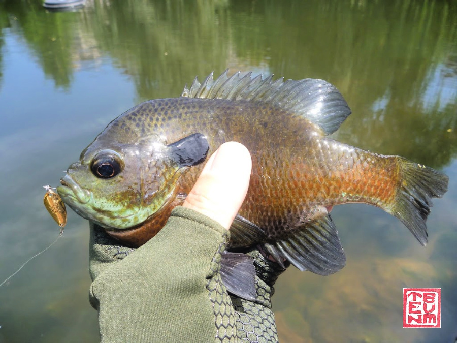 Angler holding sunfish with spoon in its mouth.