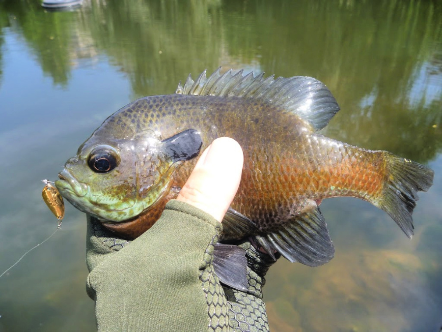 Micro spoons work very nicely for bluegills.