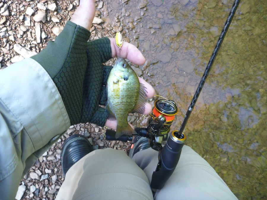 There were bluegills and green sunfish also.