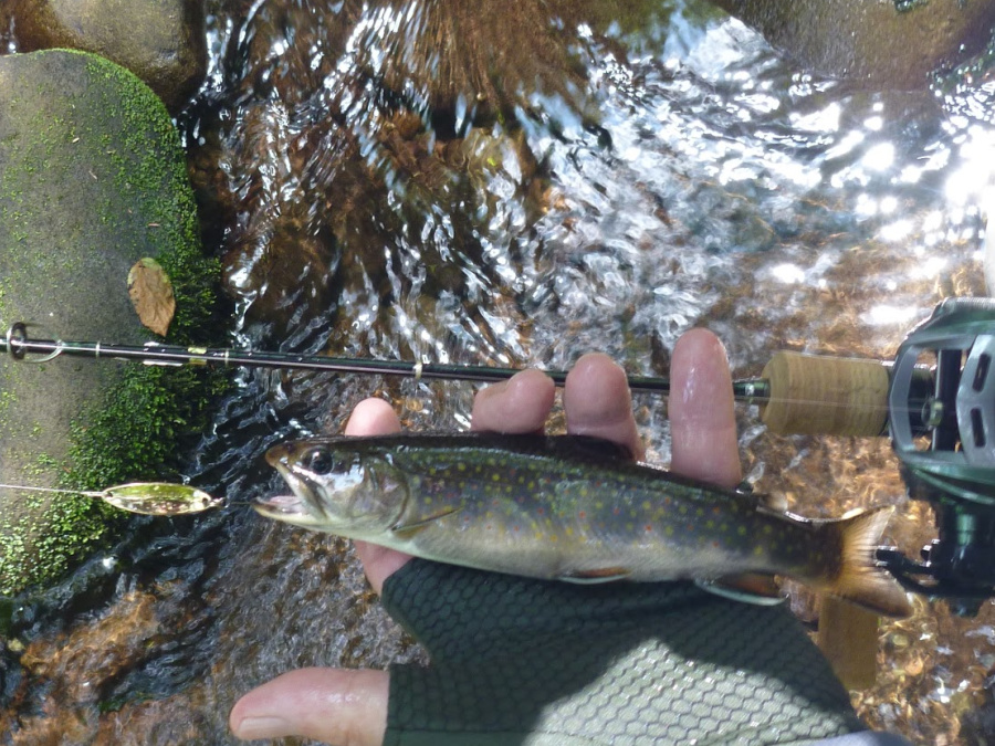 Brook trout and the spoon that caught it.
