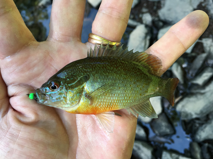 Redbreast sunfish caught with bead head nymph