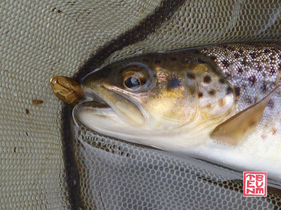 Trout in net with Rodio-craft Blinde Flanker .5g gold spoon in its mouth.
