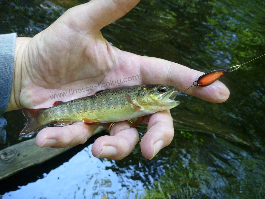 Little brown trout caught with 1.2g micro spoon.
