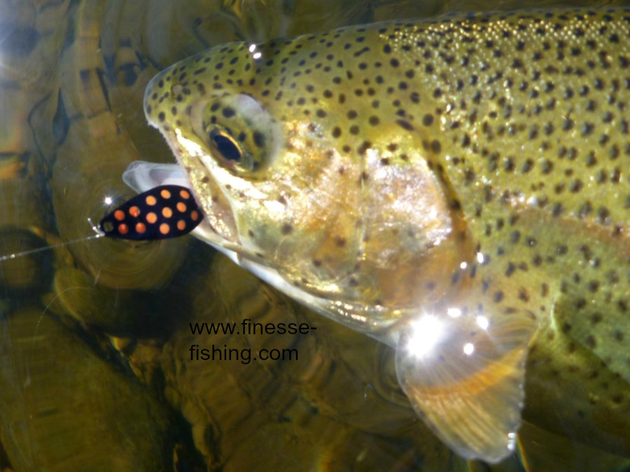 Daiwa .8 gram Vega Spoon and rainbow trout.
