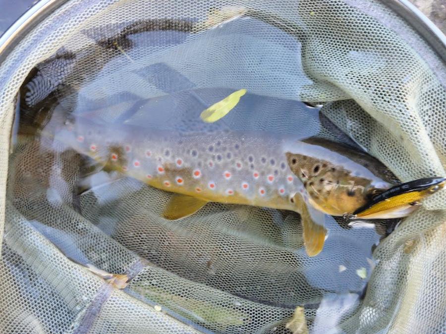 Black gold minnow, red spot brown.