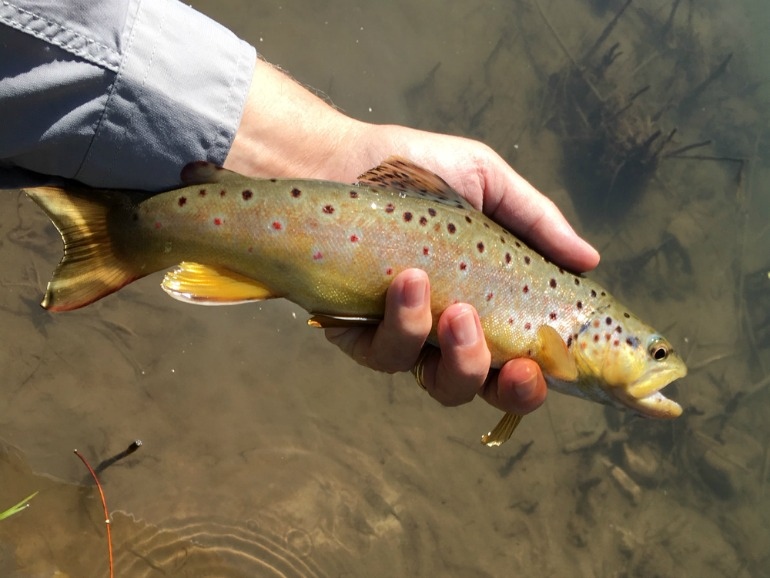Wisconsin Driftless Brown Trout