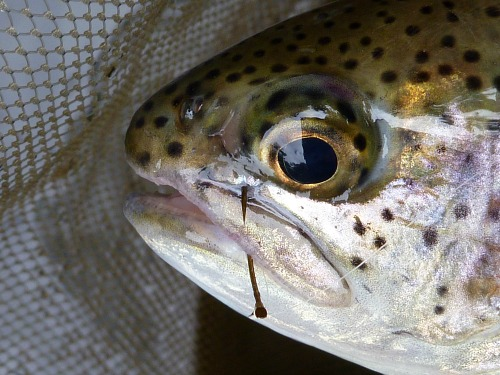 Typical Hooking Location - side of mouth