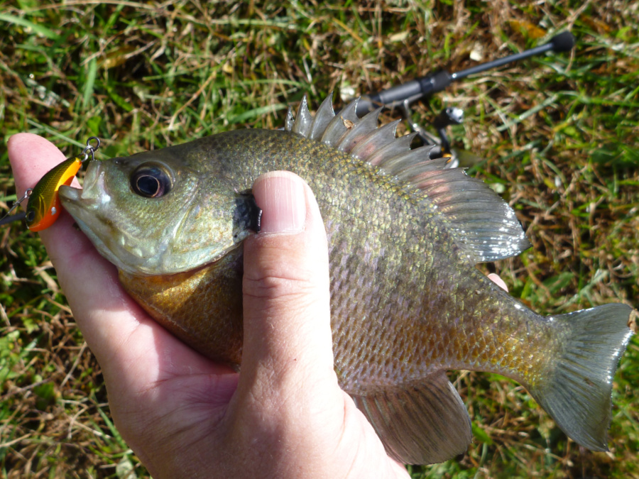 They're not too big for bluegills